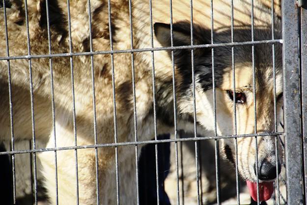 Bayburt'ta şehir merkezine inen kurt yakalandı!