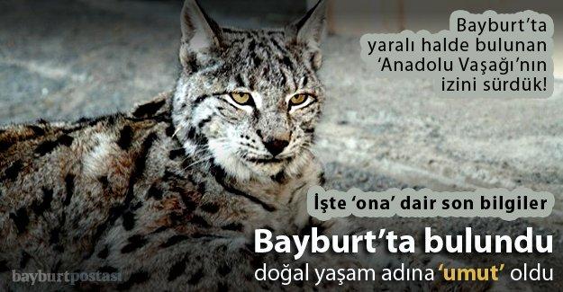 Bayburt'ta bulunan Anadolu Vaşağı, 'umut' oldu