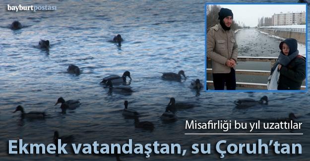 Yüzlerce yaban ördeğini vatandaşlar besliyor