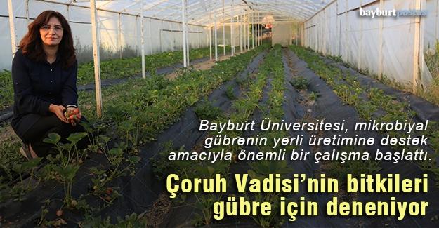 Çoruh Vadisi'nin bitkileri gübre için deneniyor