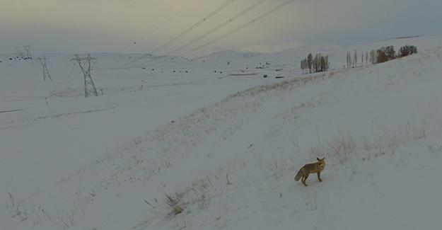 Karda yiyecek arayan tilki drone ile görüntülendi