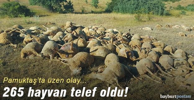 Pamuktaş Köyü'nde 265 hayvan telef oldu!
