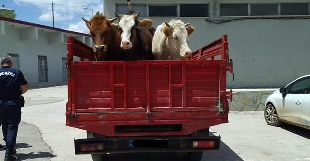 Balca'da Büyükbaş Hayvan Hırsızlığı