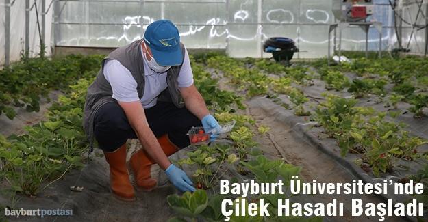 Bayburt Üniversitesi'nde Çilek Hasadına Başlandı