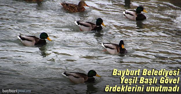 Bayburt Belediyesi, Yeşil Başlı Gövel ördeklerini unutmadı