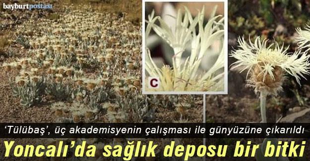 Yoncalı'da sağlık deposu bir bitki 'Tülübaş'