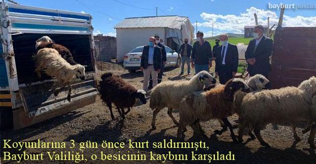 Bayburt'ta koyunlarına kurt saldıran besicinin zararı karşılandı