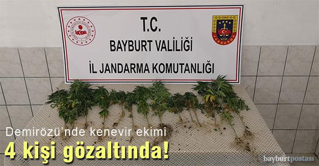 Demirözü'nde yasa dışı kenevir ekimi