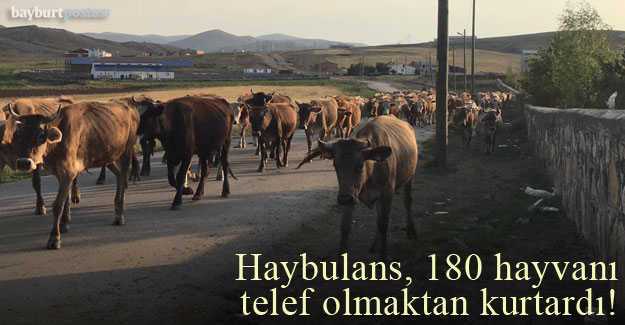 Haybulans, 180 hayvanı telef olmaktan kurtardı!