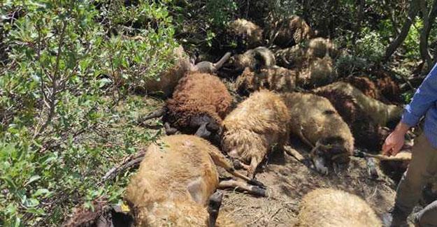 Gümüşdamla yaylasında ayı saldırısı: 31 koyun telef oldu!