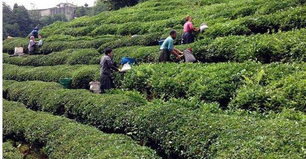 Dünyanın en büyük organik çay havzasını oluşturacak