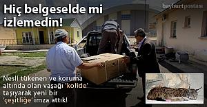 Anadolu Vaşağı quot;koliyequot; ilk kez girdi!