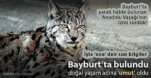 Bayburt#039;ta bulunan Anadolu Vaşağı, #039;umut#039; oldu