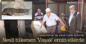 Yaralı 'Vaşak' tedavi için Erzurum'a gönderildi