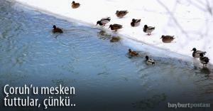 Yeşilbaş ördeklerin kışlık mekanı: Çoruh