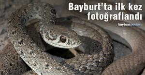 Bayburt#039;ta ok yılanı fotoğraflandı