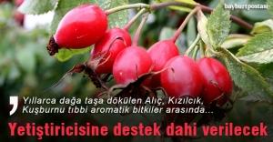 Bayburt'ta tıbbi aromatik bitkiler yetiştirilecek