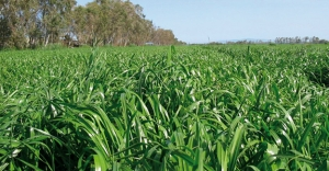 Bayburt'ta 'yem bezelyesi' ekimi yaygınlaşıyor