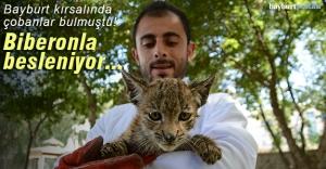 Bayburt#039;ta bulunan Vaşak yavrusunu...