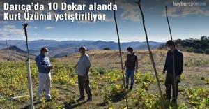 Darıca'da 10 dekar alanda Kurt Üzümü yetiştiriliyor