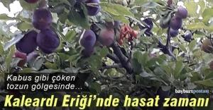 'Kaleardı Eriği'nde hasat zamanı...