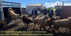 Bayburt#039;ta koyunlarına kurt saldıran...