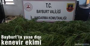 Bayburt'ta yasa dışı kenevir ekimi