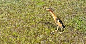 Balıkçıl Kuşu, doğaya bırakıldı