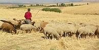 Seferihisar'da 'Çobanın Bayramı'