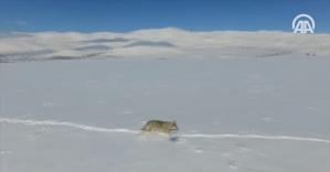 Bayburt'ta drone ile çekilen kurt ilgi odağı oldu